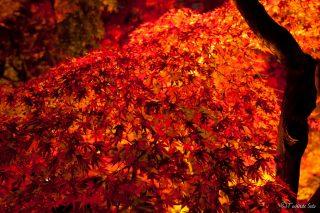 永観堂紅葉のライトアップの期間や時間は