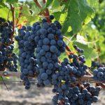 ボジョレーヌーヴォーの葡萄「ガメイ種」とは?