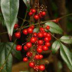 正月飾りに赤い実の南天を飾るのはなぜ?縁起がいい理由は?