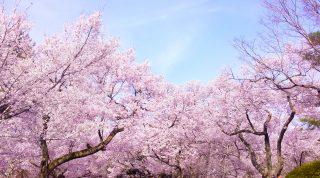 ほんとに知ってる?梅と桜の見分け方とは?花の違いとは?