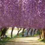 北九州市『河内藤園の藤の花』の見頃とアクセス情報!秘密の花園の紹介です!