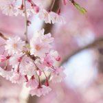 茨城県常陸風土記の丘のしだれ桜は見る価値あり!見頃やアクセスのご案内!